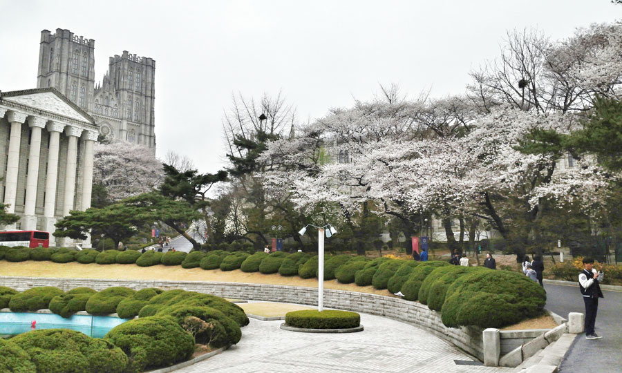 kyunghee university seoul korea spring cherry blossoms main